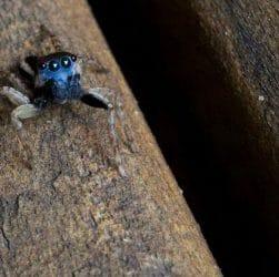 Araignée bleue